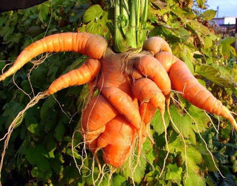 Ceea ce poate nu știți despre morcovi