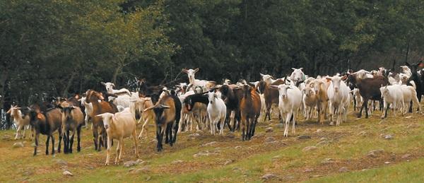 scădere în greutate la caprele pigmei