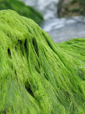 poate ajuta algele cu pierderea în greutate
