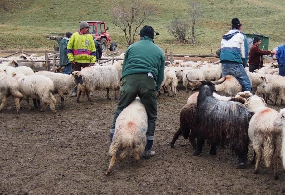 păstori pierdere în greutate