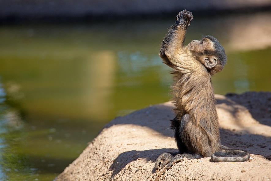 maimuță de slăbit cum poate slăbi în 1 lună