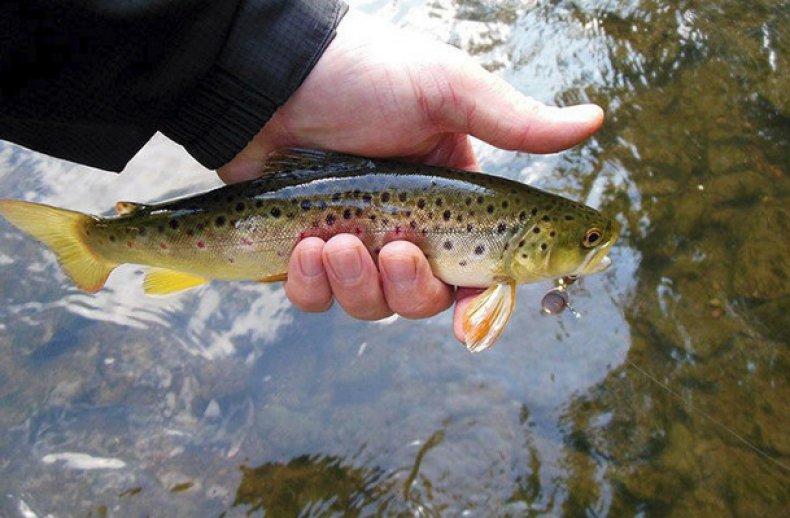 Cel mai bun pește pentru slăbit - Este păstrăv curcubeu bun pentru pierderea în greutate