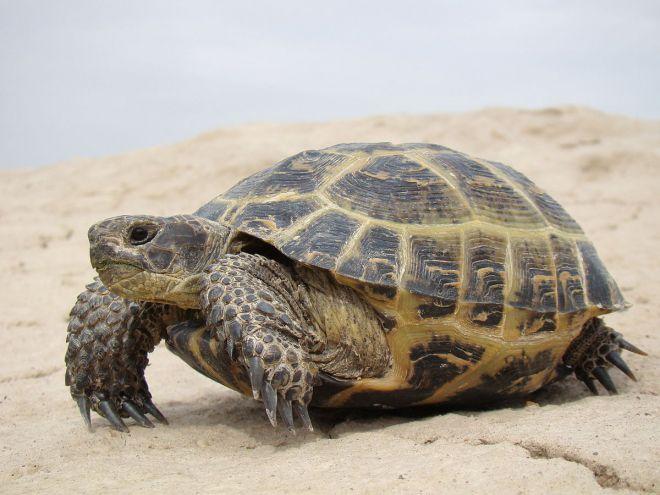 turtle înainte de pierderea în greutate