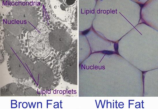 poate celulele să ardă grăsime slăbește în funcție de forma corpului tău