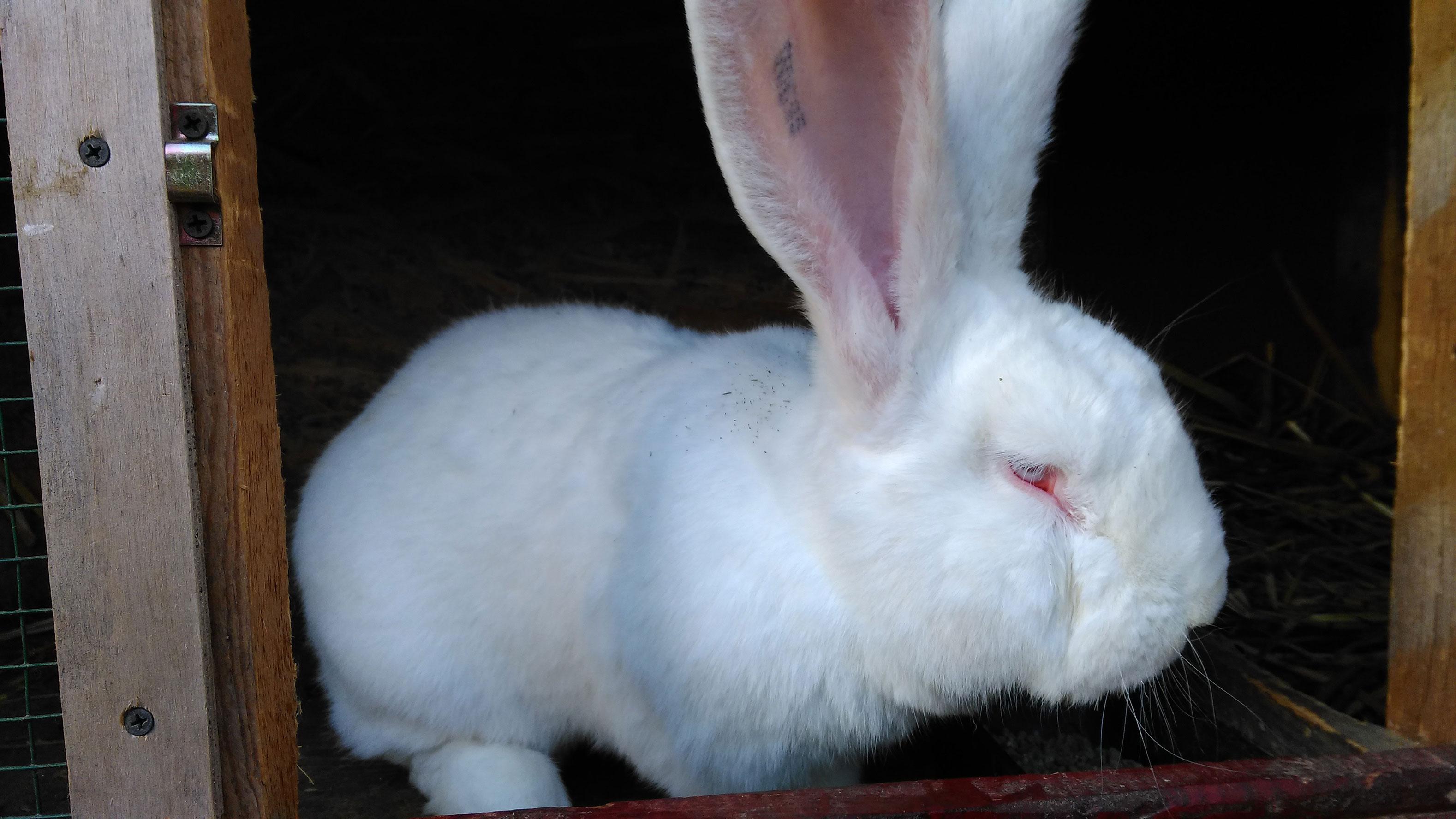 Pierderea apetitului la iepurii