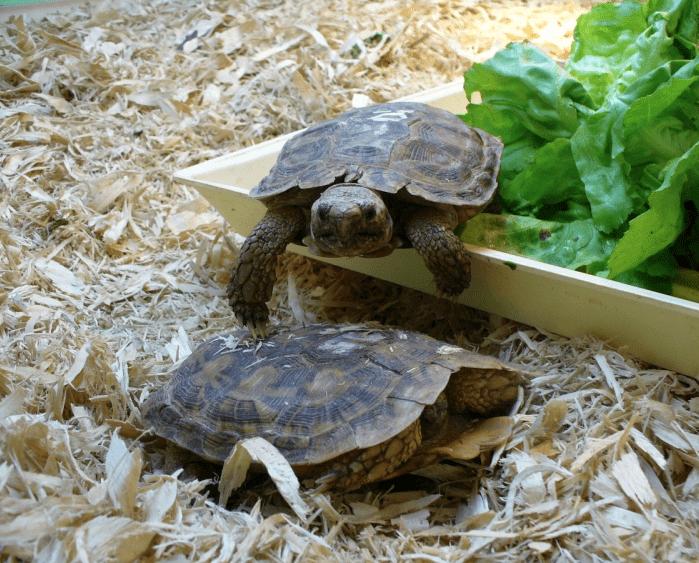 Scădere în greutate țestoase - Boli si combaterea lor