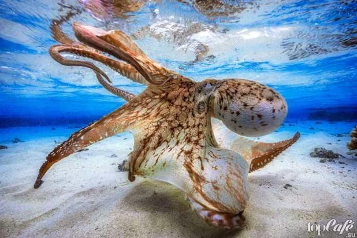 Cel mai mare caracatiță din lume