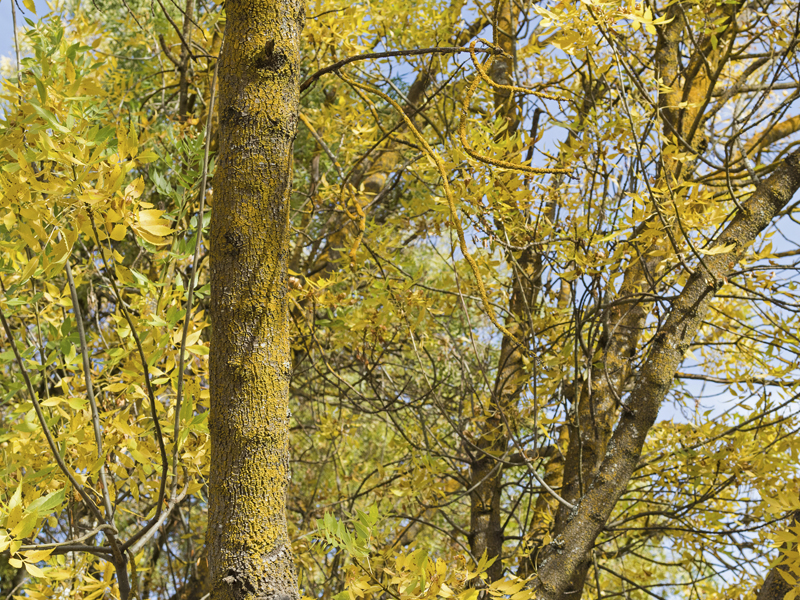 copac copac pentru pierderea în greutate)