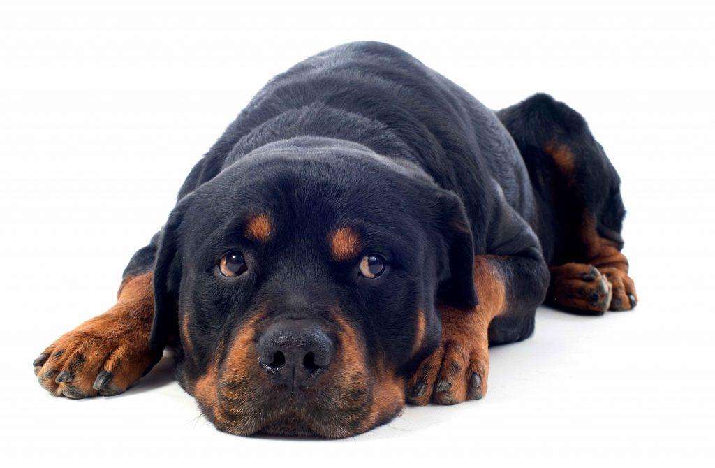 rottweiler trebuie să slăbească cel mai bun supliment sănătos pentru pierderea în greutate