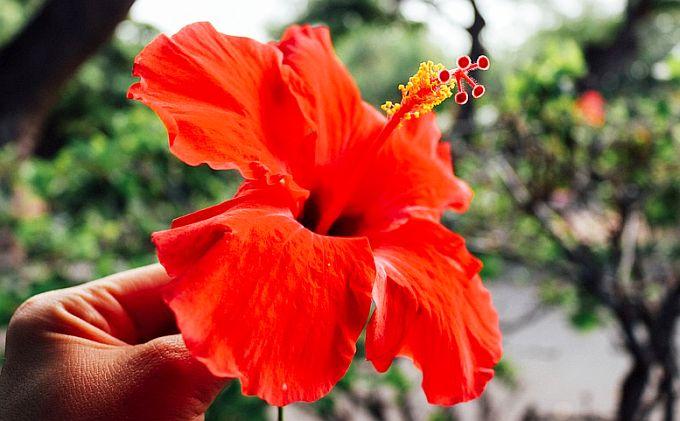 hibiscus arde grăsime