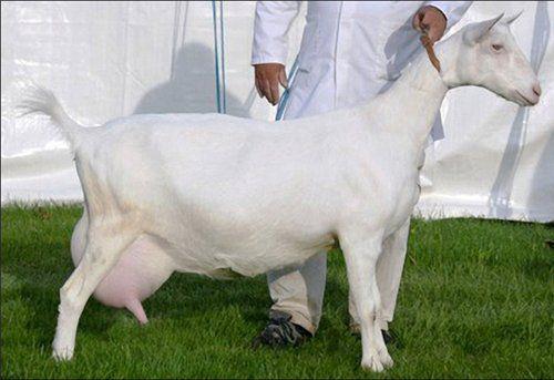 motive de pierdere în greutate la capre pierde in greutate japoneza