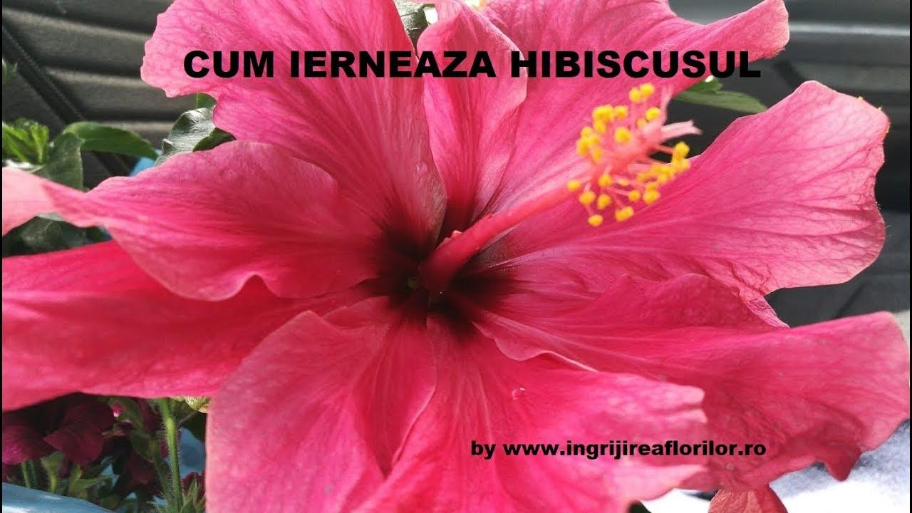 pierderea în greutate din greutate hibiscus